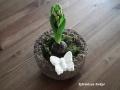 Jácint könnyűbeton edényben fehér beton pillangóval