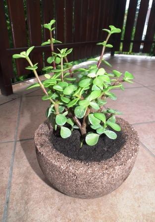 Portulacaria sp. könnyűbeton edényben