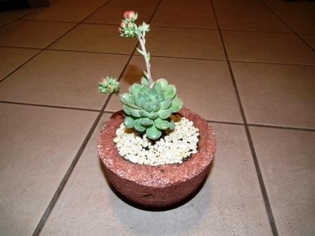 Echeveria sp. könnyűbeton edényben