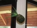 Aloe kokedama