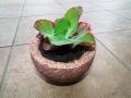 Echeveria rubromarginata