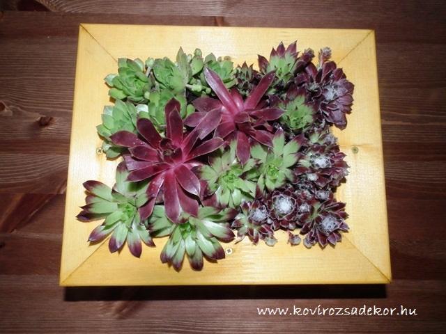 kövirózsa kép, succulent living picture