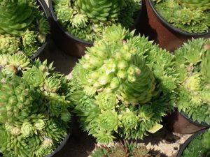 Sempervivum2virág, kövirózsa