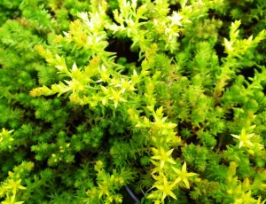 Sedum sexangulare virága