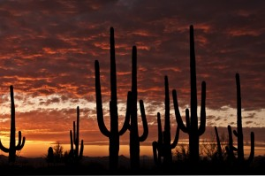 saguaro, naplemente