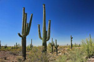 saguaro, oszlopkaktusz