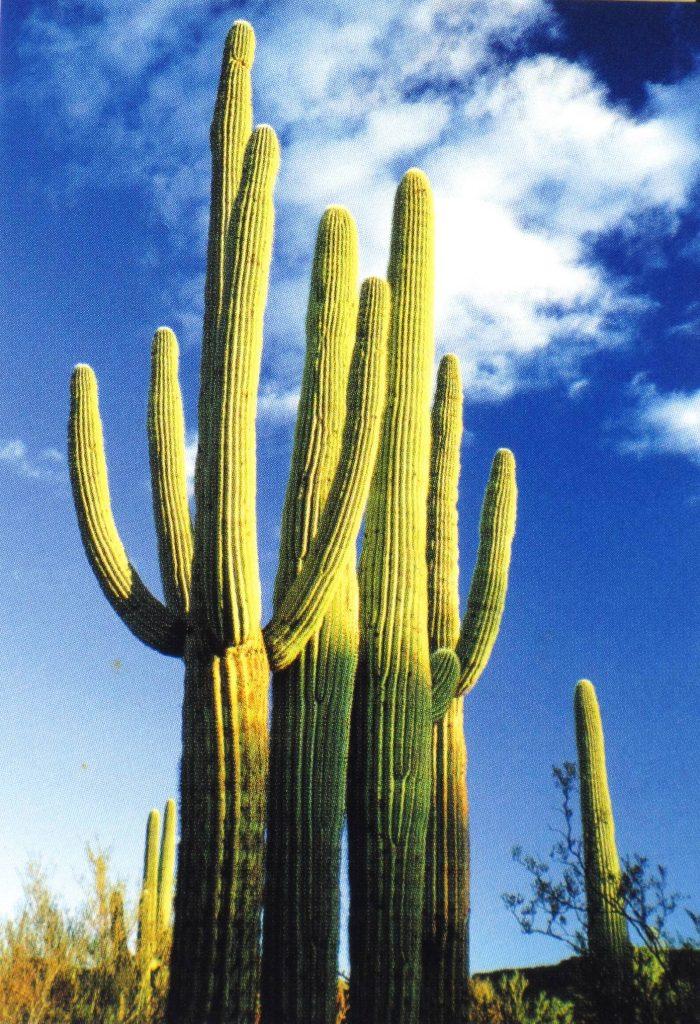 saguaro, kandeláberkaktusz, oszlopkaktusz