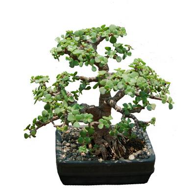 Portulacaria afra bonsai