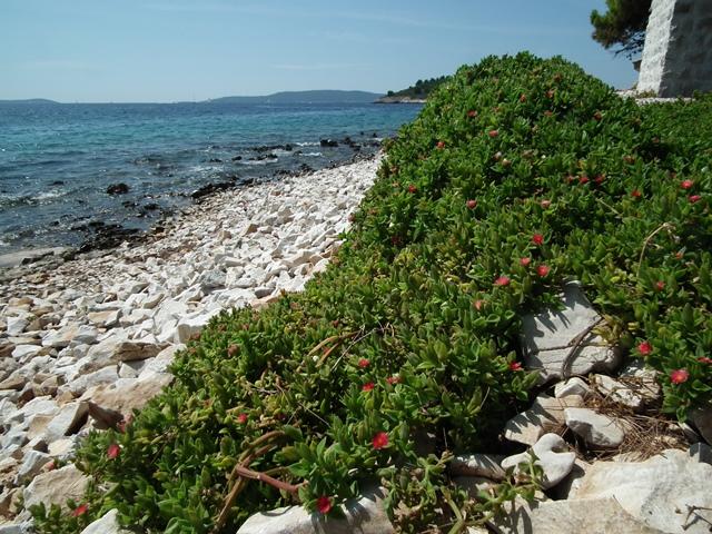 Aptenia cordifolia, szívlevelű kristályvirág