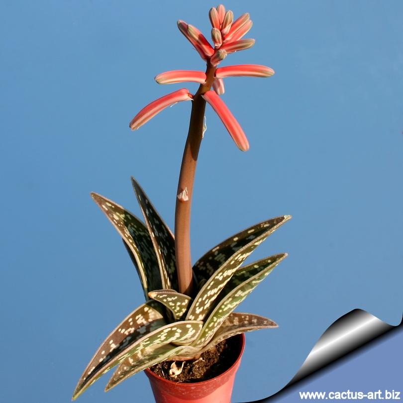 Aloe_variegata