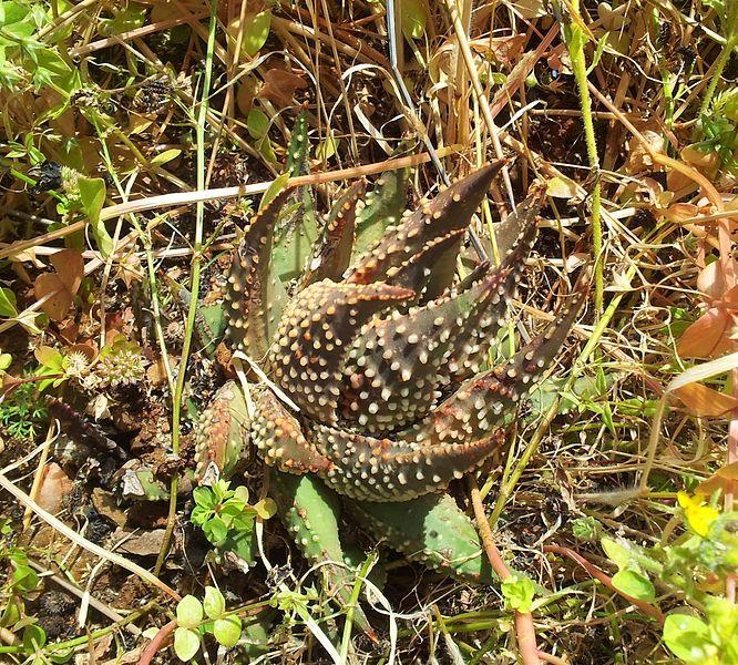 Haworthia maxima, Dél-Afrika