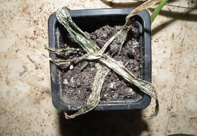 túlöntözött pozsgás növény
