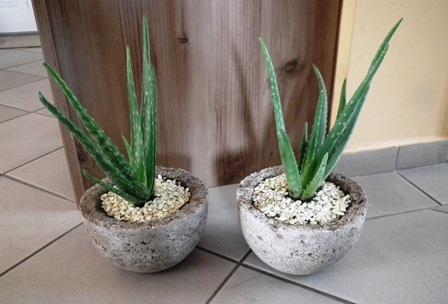 Aloe sp. könnyűbeton edényben