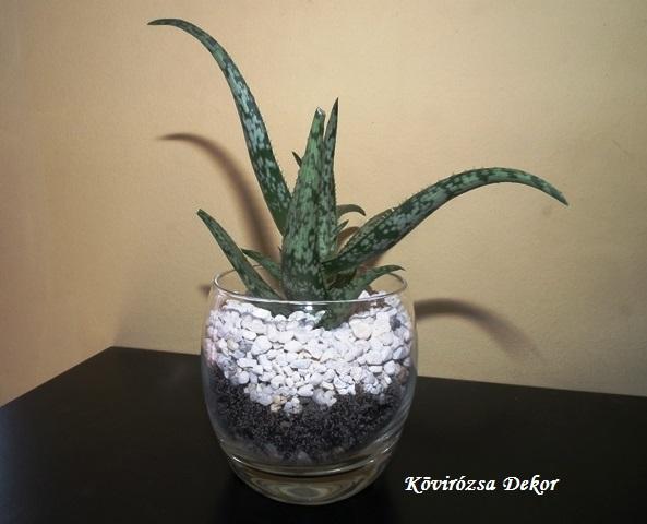 Aloe sp. üvegpohárban, mini terrárium