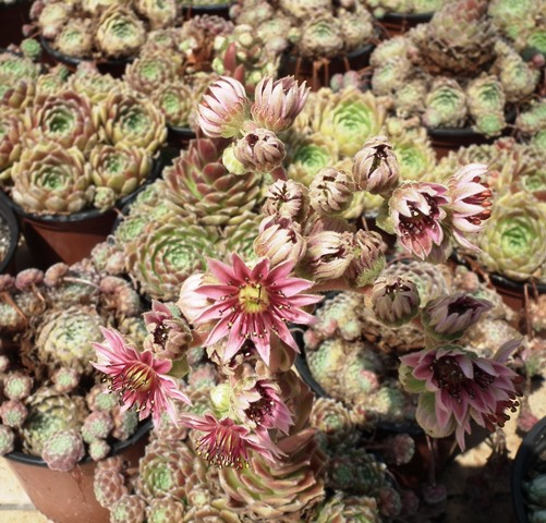 Sempervivum 11 virág, kövirózsa