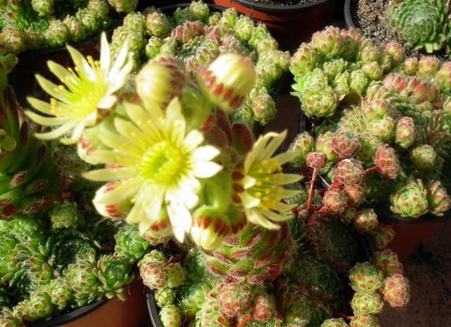 Sempervivum1virág