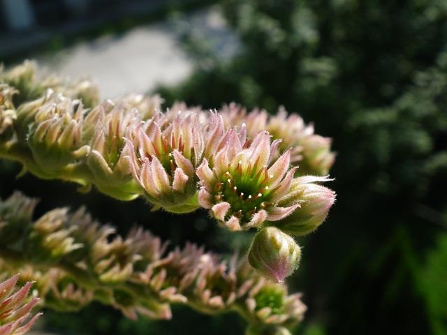 Sempervivum S5 virág, kövirózsa virág