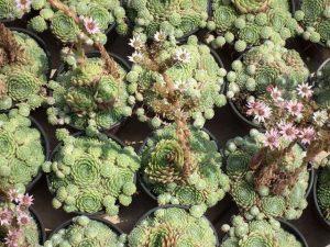 Sempervivum 9 virág, kövirózsa