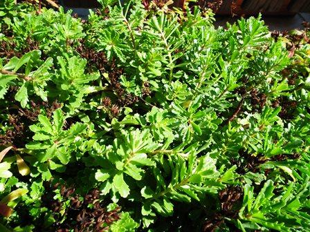 Sedum floriferum 'Weihenstephaner Gold