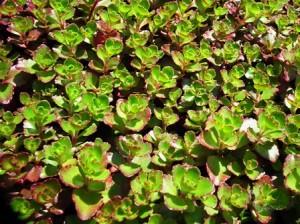 Sedum spurium 'Coccineum'