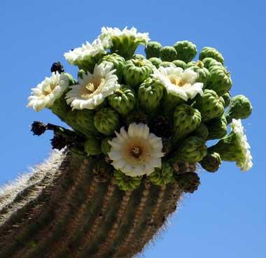 saguaro, oszlopkaktusz, kandeláberkaktusz