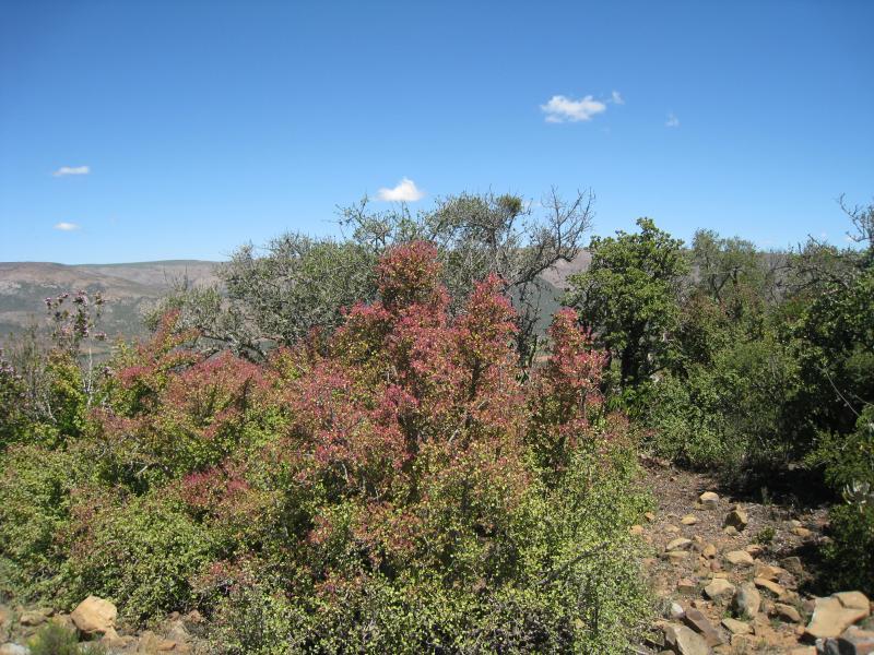 Portulacaria afra, Dél-Afrika