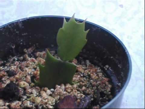 karácsonyi kaktusz szaporítás