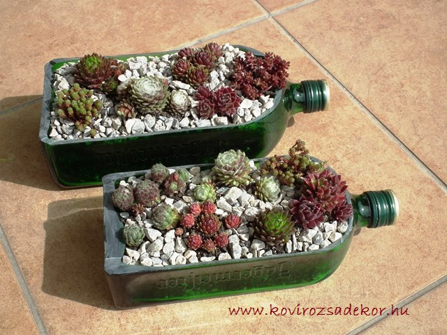 kövirózsák üvegben, Sempervivum in bottle