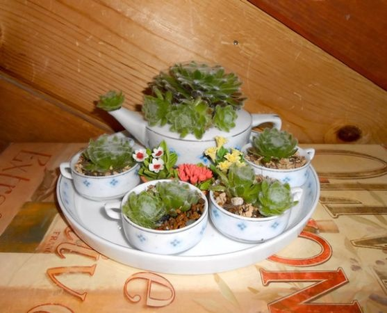 teacup planter, pozsgások teáscsészében