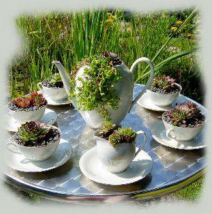 pozsgások teáscsészében, succulents in teapot