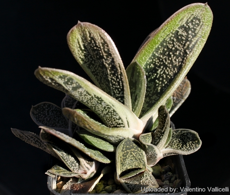 Gasteria_cv._Little_Warty