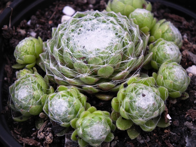 Sempervivum aracnoidum fajták