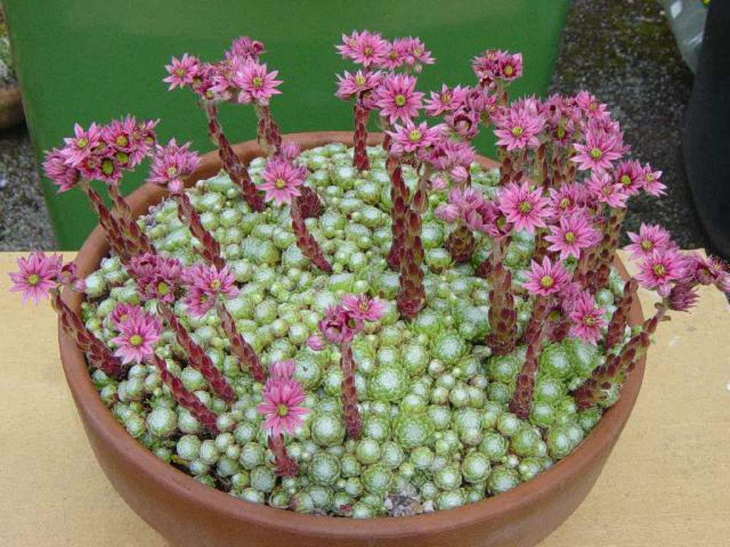 Sempervivum-arachnoideum