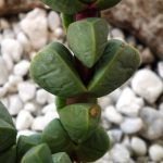 vízhiányos pozsgás növény